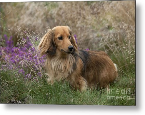 Miniature Long-haired Dachshund Metal Print featuring the photograph Miniature Long-haired Dachshund by John Daniels