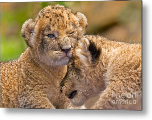Khao Kheow Open Zoo Metal Print featuring the photograph Minor Collision by Ashley Vincent