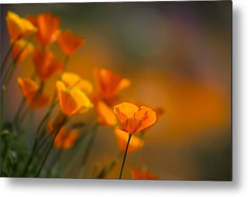 California Poppies Metal Print featuring the photograph Misty Poppies by Roger Mullenhour