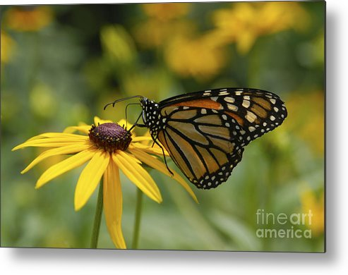 Monarch Butterfly Metal Print featuring the photograph Monarch Butterfly by Anthony Sacco