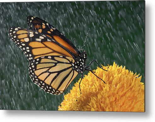 Streak Metal Print featuring the photograph Monarch Butterfly Danaus Plexippus In by Thomas Kitchin & Victoria Hurst