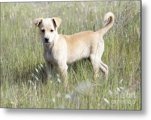 Mongrel Metal Print featuring the photograph Mongrel Dog Puppy by Duncan Usher