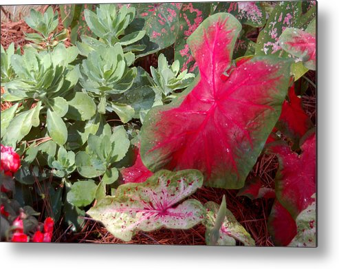 Caladium Metal Print featuring the photograph Morning Rain by Suzanne Gaff