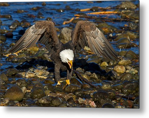Bald Eagle Metal Print featuring the photograph National Symbol by Shari Sommerfeld
