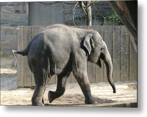National Metal Print featuring the photograph National Zoo - Elephant - 12126 by DC Photographer