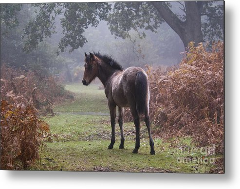 New Forest Pony Metal Print featuring the photograph New Forest Pony by Dave Pressland FLPA
