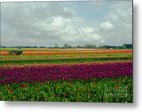 Willamette Metal Print featuring the photograph Nikon Nick's Tulip Landscape by Nick Boren