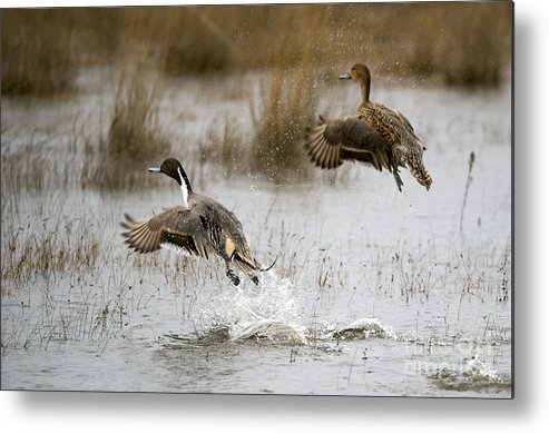 Northern Pintail Metal Print featuring the photograph Northern Pintail Flight by Mike Dawson