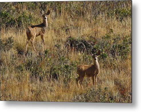 Black Mesa Metal Print featuring the photograph Oh Deer by Charles Warren