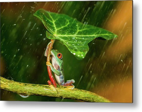 Frog Metal Print featuring the photograph Ohh Noo :( It's Raining by Kutub Uddin