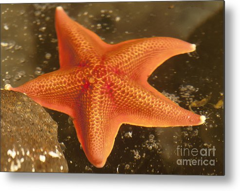 Gaviota Metal Print featuring the photograph Orange Starfish In California Ocean by Artist and Photographer Laura Wrede