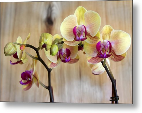 Orchids Metal Print featuring the photograph Orchid Beauties by Dana Moyer