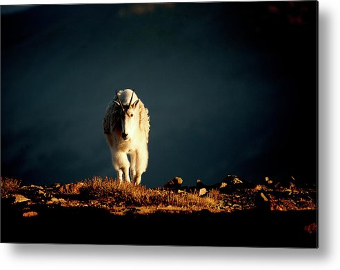 Mountain Goat Metal Print featuring the photograph Out Of The Darkness by Jim Garrison