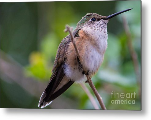 Hummingbird Metal Print featuring the photograph Out On A Limb by Mary Giordano