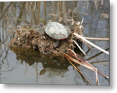 Western Painted Turtle Metal Print featuring the photograph Painted Turtle Sunning On A Mud Flat by Robert Hamm