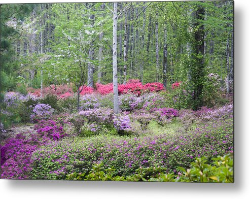 Azalea Metal Print featuring the photograph Pastel Forest by Eggers Photography