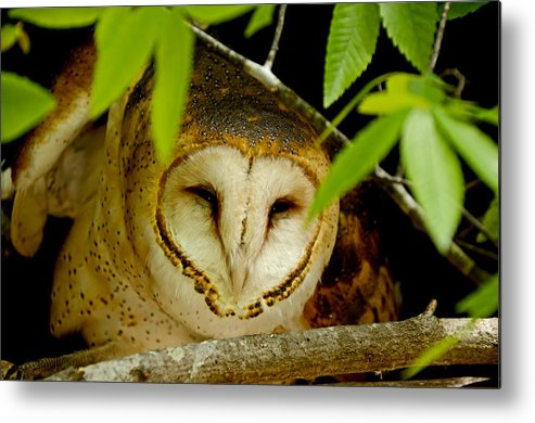 Owl Metal Print featuring the photograph Peering Barn Owl by Eric Albright