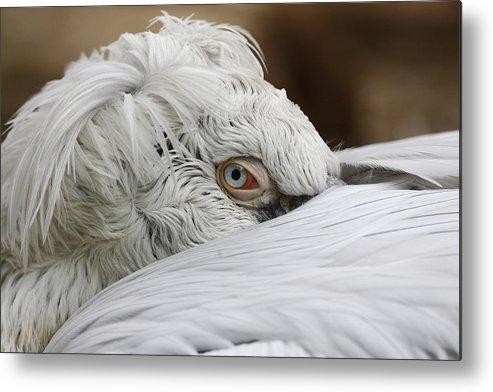 Dalmatian Pelican Metal Print featuring the photograph Pelican Eye by Silviu Matei