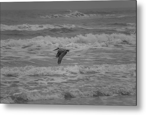 Padre Island National Seashore Metal Print featuring the photograph Pelican In Flight by JL Griffis