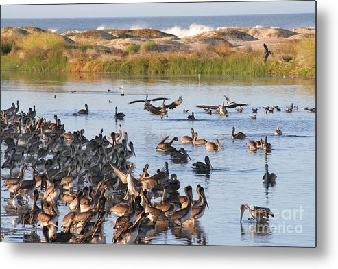 Brown Pelicans Metal Print featuring the photograph Pelican Party by Bob and Jan Shriner