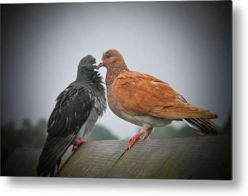 Pigeon Metal Print featuring the photograph Pigeon Love by Terrence Downing