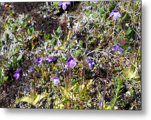 Myvatn/flora Metal Print featuring the photograph Pinguicula/myvatn by Rune Valtersson