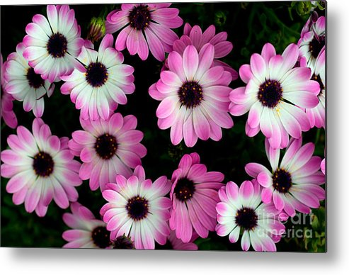 Flower Metal Print featuring the photograph Pink And White Daisies by Jaroslaw Blaminsky