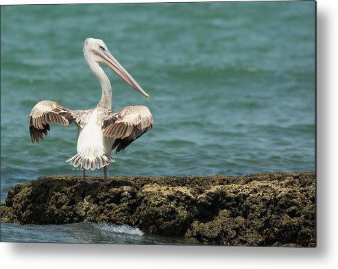 Africa Metal Print featuring the photograph Pink-backed Pelican Looking Over Shoulder by Dave Montreuil