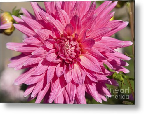 Bloom Metal Print featuring the photograph Pink Dahlia II by Peter French