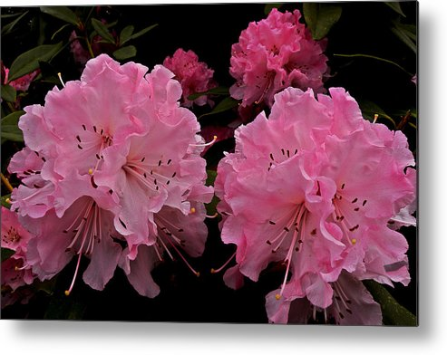 Photographs Metal Print featuring the photograph Pink Rhododendron by Brian Chase