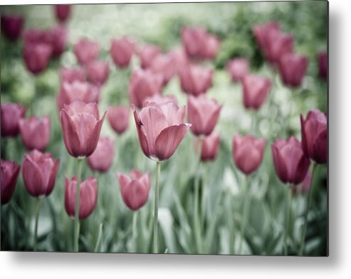 Pink Tulip Metal Print featuring the photograph Pink Tulip Field by Frank Tschakert