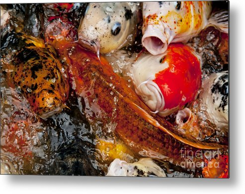 Koi Metal Print featuring the photograph Please Feed Us by Wilma Birdwell