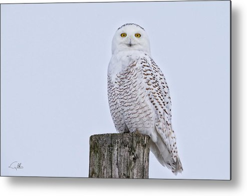 Pole Perched Snowy Metal Print featuring the photograph Pole Perched Snowy by Craig Allen