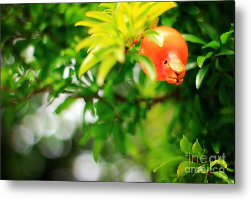 Pomegranate Metal Print featuring the photograph Pomegranate On A Tree by Beverly Claire Kaiya