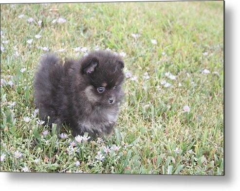 Pomeranian Metal Print featuring the photograph Pomeranian Alert Puppy by Trudi Olfert