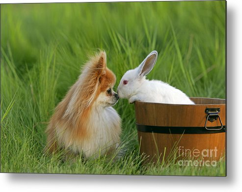 Pomeranian Metal Print featuring the photograph Pomeranian With Rabbit by Rolf Kopfle