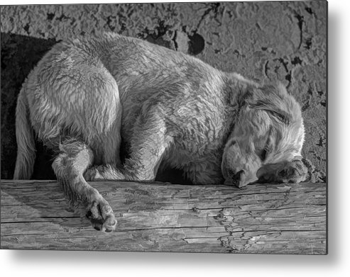 Puppy Metal Print featuring the photograph Pooped Puppy Bw by Steve Harrington