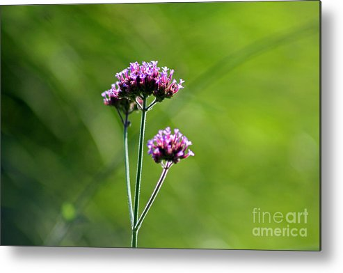 Flower Metal Print featuring the photograph Portrait Of Purple Verbena by Karen Adams