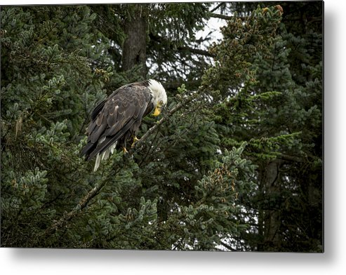 Eagle Metal Print featuring the photograph Posing Bald Eagle by Tom Slater