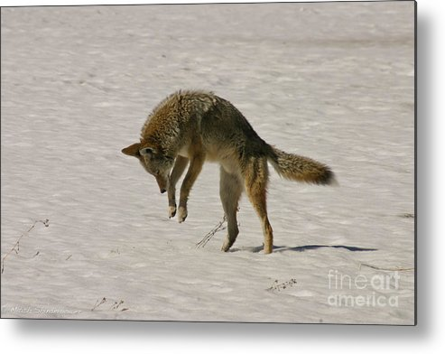 Pouncing Metal Print featuring the photograph Pouncing Coyote by Mitch Shindelbower