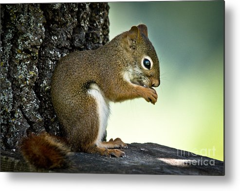 Squirrel Metal Print featuring the photograph Praying Squirrel by Cheryl Baxter