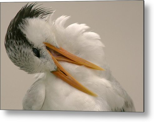 Sea Gull Metal Print featuring the photograph Preening by PMG Images