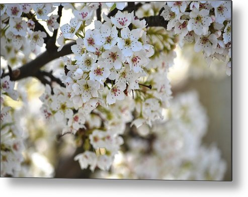 Photography Metal Print featuring the photograph Pretty Flowering Trees by P S