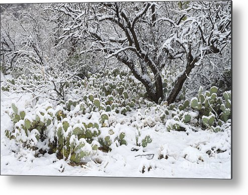 Nature Metal Print featuring the photograph Prickly Pear Cactus And Mesquite Tree by John Shaw