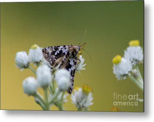 Moth Metal Print featuring the photograph Probe by Bryan Neuswanger