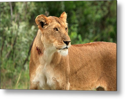 Africa Metal Print featuring the photograph Proud Lioness by Aidan Moran
