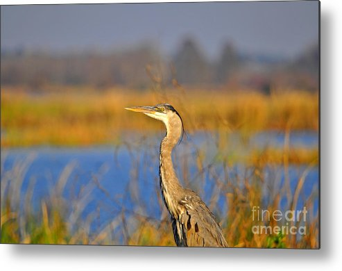 Heron Metal Print featuring the photograph Proud Profile by Al Powell Photography USA