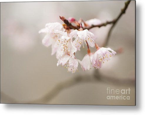 Floral Metal Print featuring the photograph Prunus Hirtipes by Anne Gilbert