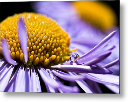 Aster Metal Print featuring the photograph Purple Drop by Priya Ghose