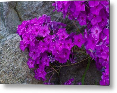 Purple Flowers Metal Print featuring the photograph Purple Flowers by Allan Morrison
